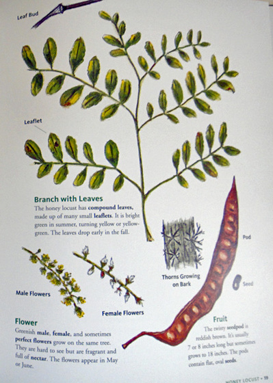 honey locust tree identification gallery