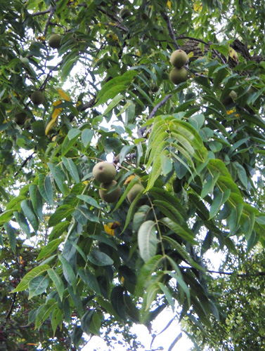 black_walnut_fruit9_1.jpg