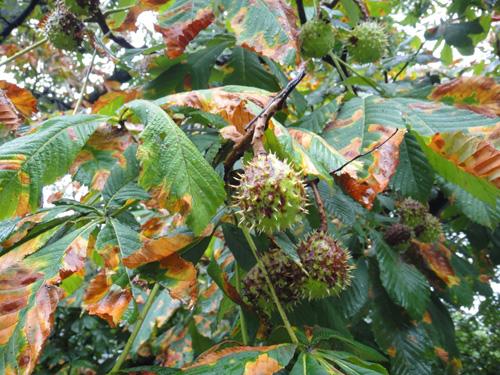 chestnut9_6.jpg