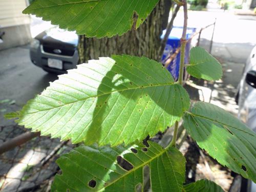 chestnut_6_3.jpg