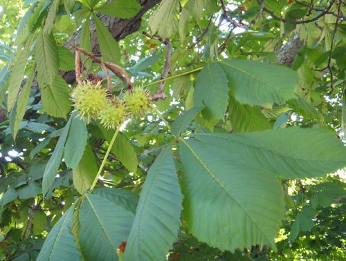 chestnut_tree8_1a.jpg