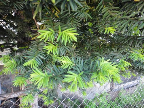 conifers5_13a.jpg