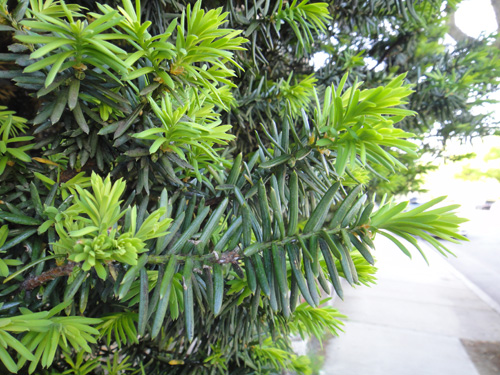 conifers5_13b.jpg
