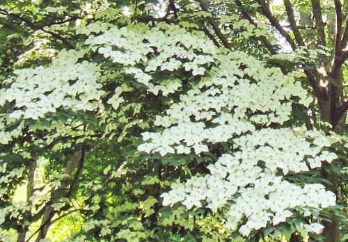dogwood_arboretum.jpg