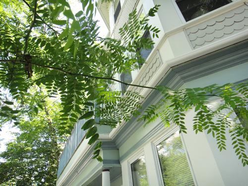 http://treeblog.hansels.net/treeblog/honeylocust6_21a.jpg