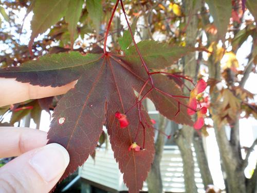 japanese_maple_leaf5_25.jpg
