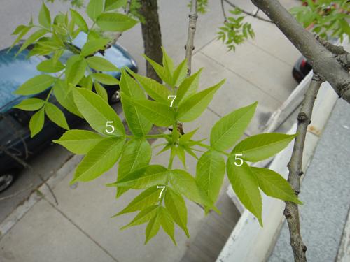 leaf_count5_9b.jpg
