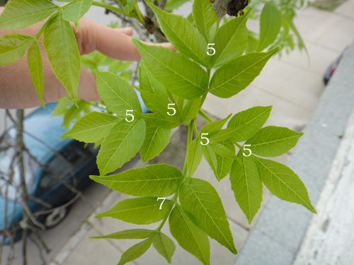 leaf_count5_9c.jpg