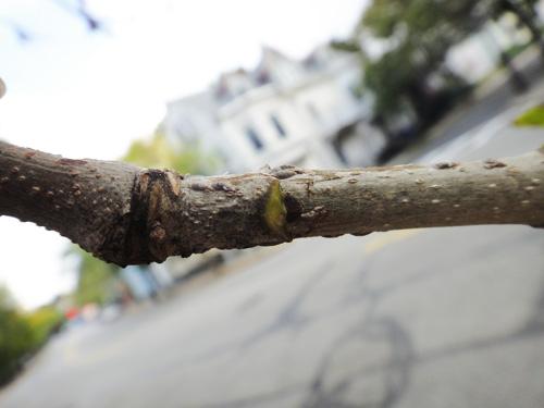 leaf_scar2.jpg