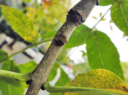 leaf_scar4.jpg