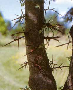 locust_thorns.jpg