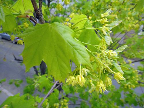 maple_leaves5_4.jpg