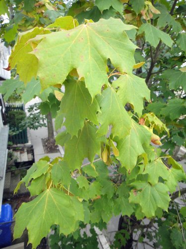 maple_leaves8_16.jpg