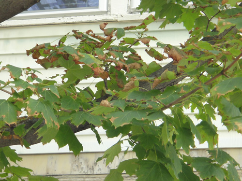 maple_leaves8_26.jpg