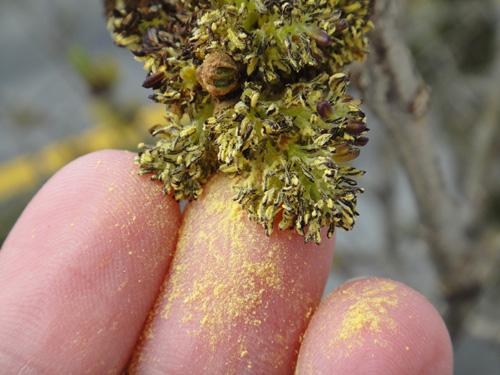 pollen4_25b.jpg