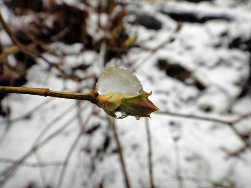 snowbuds_4_1.jpg