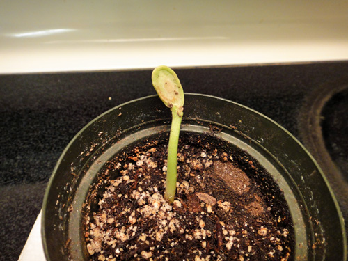 sprout3.jpg